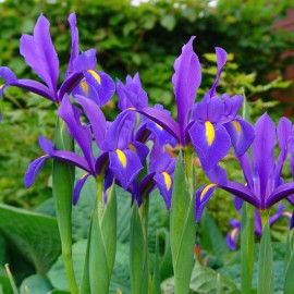 IRIS KOSATEC HOLLANDICA BLUE