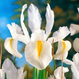 IRIS KOSATEC HOLLANDICA WHITE
