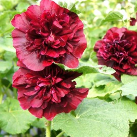 ALCEA ROSEA CHATER*S DOUBLE PURPLE