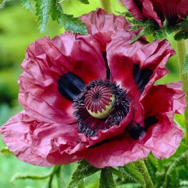 PAPAVER OKRASNY MAK ORIEN.PATTY*S PLUM