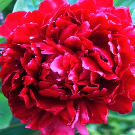 PAEONIA PIVONKA RED MAGIC