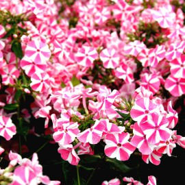 PHLOX FLOX PAN.PEPPERMINT TWIST