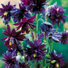 AQUILEGIA BLACK BARLOW