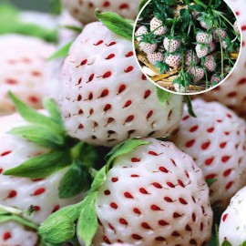 FRAGARIA JAHODA WHITE PINEBERRY