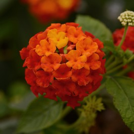 LANTANA CAM. RED - 3 KS