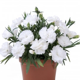 DIANTHUS SUPER TROUPER WITTA - 3 KS
