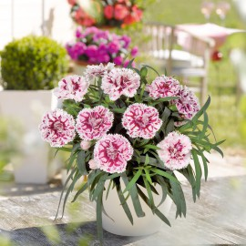DIANTHUS SUPER TROUPER SISSY-3 KS