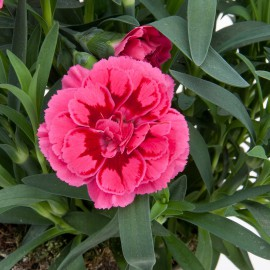 DIANTHUS OSCAR PURPLE WINGS-3 KS