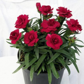 DIANTHUS OSCAR DARK RED-3 KS