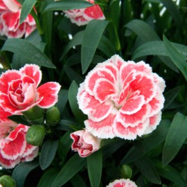 DIANTHUS OSCAR WHITE AND RED - 3 KS