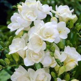 FREZIA DOUBLE WHITE
