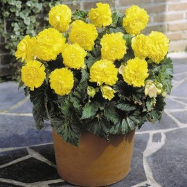 BEGONIA FIMBR.YELLOW