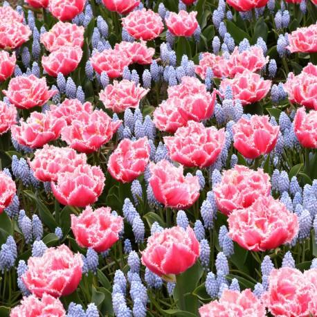 TULIPAN MUSCARI DUTCH FLOWER FIELDS