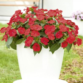 IMPATIENS RED - 3 KS