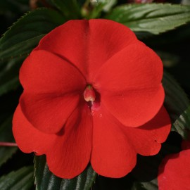 IMPATIENS ORANGE RED - 3 KS