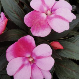 IMPATIENS LAVENDER FLAME - 3 KS