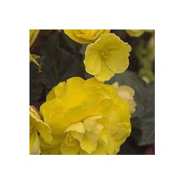 BEGONIA TUB.MOCCA YELLOW - 3 KS