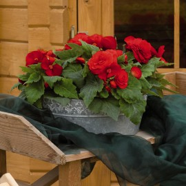 BEGONIA TUB.NONSTOP RED IMP - 3 KS