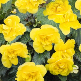 BEGONIA TUB.NONSTOP YELLOW - 3 KS