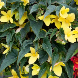 BEGONIA CULT.MISTRAL YELLOW - 3 KS