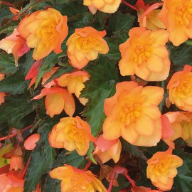 BEGONIA CULT.DOUBLE ORANGE - 3 KS
