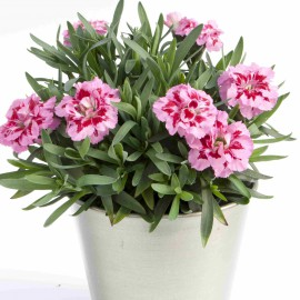 DIANTHUS OSCAR PINK AND PURPLE - 3 KS