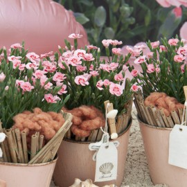 DIANTHUS PEACH PARTY - 3 KS