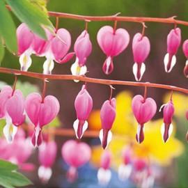 Srdcovka nádherná - Dicentra spectabilis